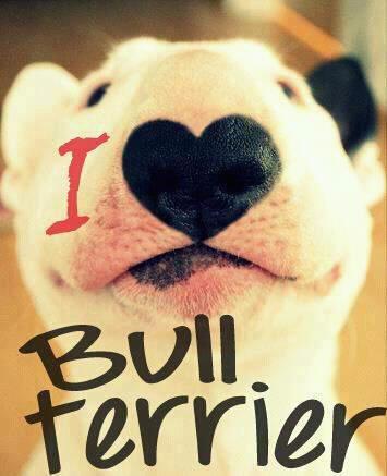 i love bull terier